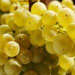 Grappe de raisins blancs en gros plan avec des gouttes d'eau dessus.